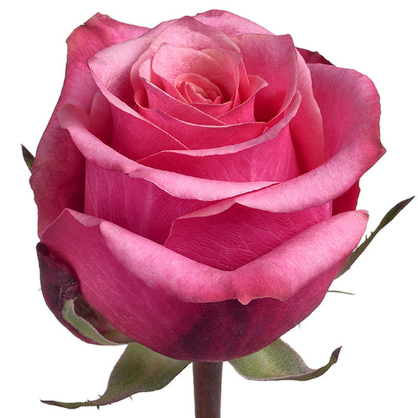 Roses Medium Pink Diamond Jubilee - BloomsyShop.com
