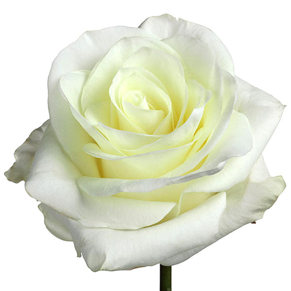 Roses White First Lady - BloomsyShop.com
