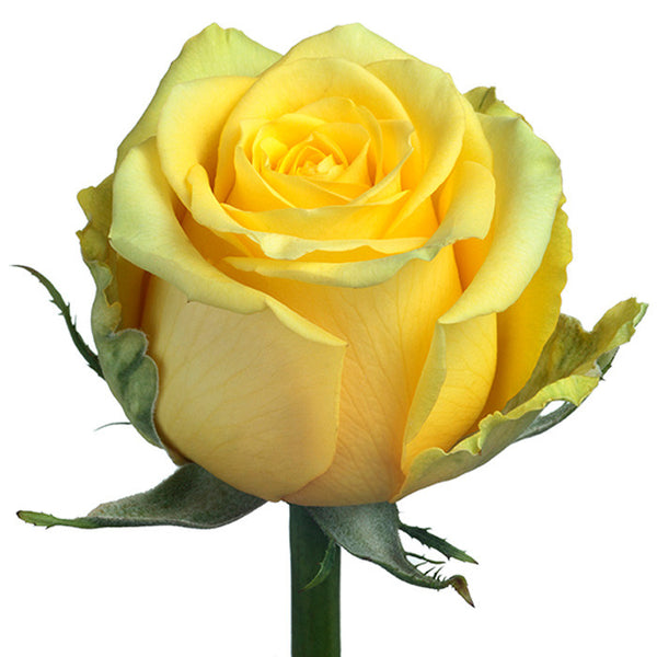 Roses Yellow High & Exotic - BloomsyShop.com