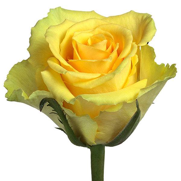 Roses Yellow Idol - BloomsyShop.com