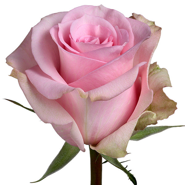 Roses Light Pink Jessika - BloomsyShop.com