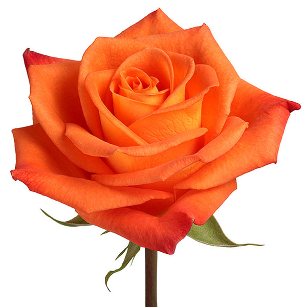 Roses Orange Miracle - BloomsyShop.com