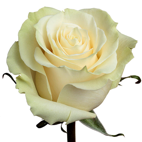 Roses White Mondial - BloomsyShop.com