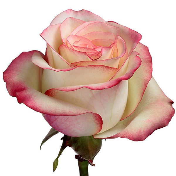 Roses Bicolor Pink Paloma - BloomsyShop.com