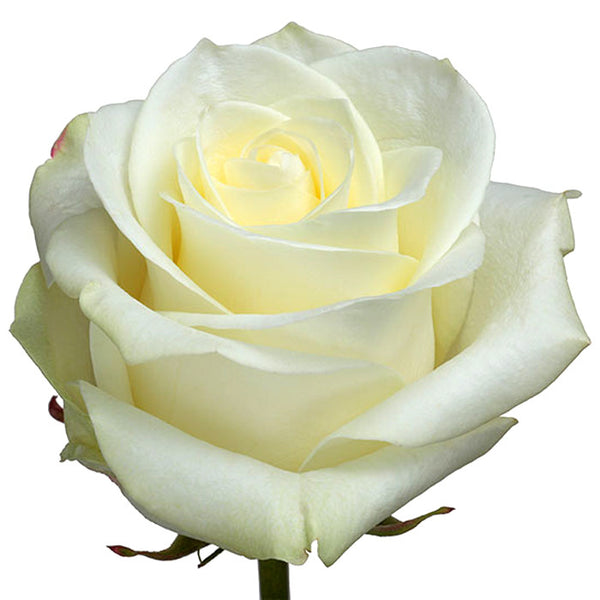 Roses White Polar Star - BloomsyShop.com
