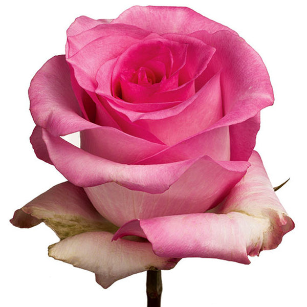 Roses Medium Pink Priceless - BloomsyShop.com