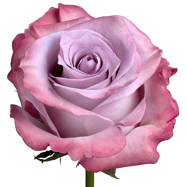 Roses Lavender Purple Haze - BloomsyShop.com