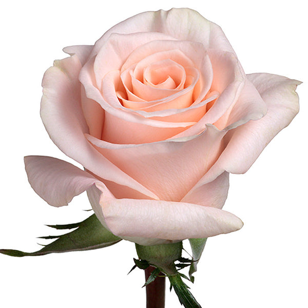Roses Cream/Peach Quicksand - BloomsyShop.com