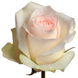 Roses Light Pink Senorita - BloomsyShop.com