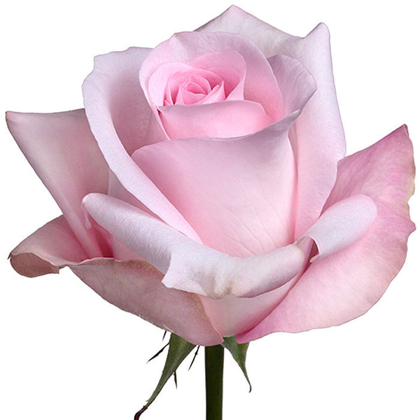 Roses Light Pink Sweet Akito - BloomsyShop.com