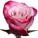 Roses Novelties Sweetberry - BloomsyShop.com