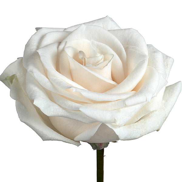 Roses White Vendela - BloomsyShop.com