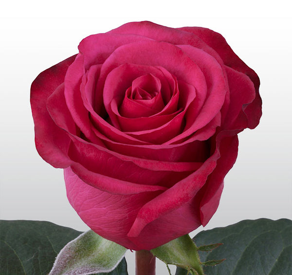 Roses Hot Pink Roseberry - BloomsyShop.com