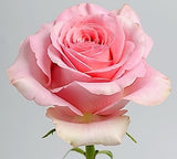 Roses Medium Pink Saga - BloomsyShop.com