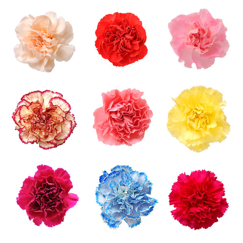 Carnations Fundraiser Pack Assorted Colors - BloomsyShop.com