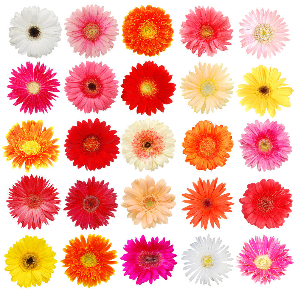 Color Daisies: Assorted Gerbera Daisy, Gerbera Daisies In Bulk