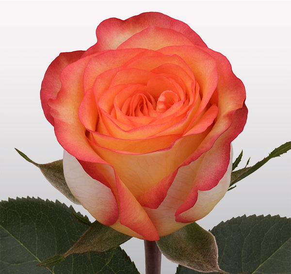 Roses Bicolor Orange Skyfire - BloomsyShop.com