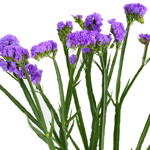 Statice Purple - BloomsyShop.com