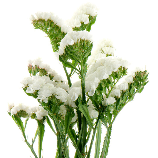 Statice White - BloomsyShop.com