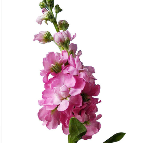 Stock Pink - BloomsyShop.com