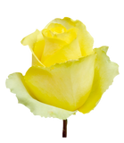 Roses Yellow Tara - BloomsyShop.com