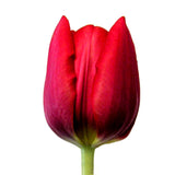 Red Tulip - BloomsyShop.com