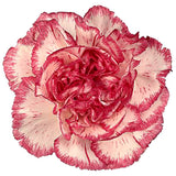 Carnations Bicolor Pink and White - BloomsyShop.com