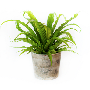 BIRDS NEST FERN - 6
