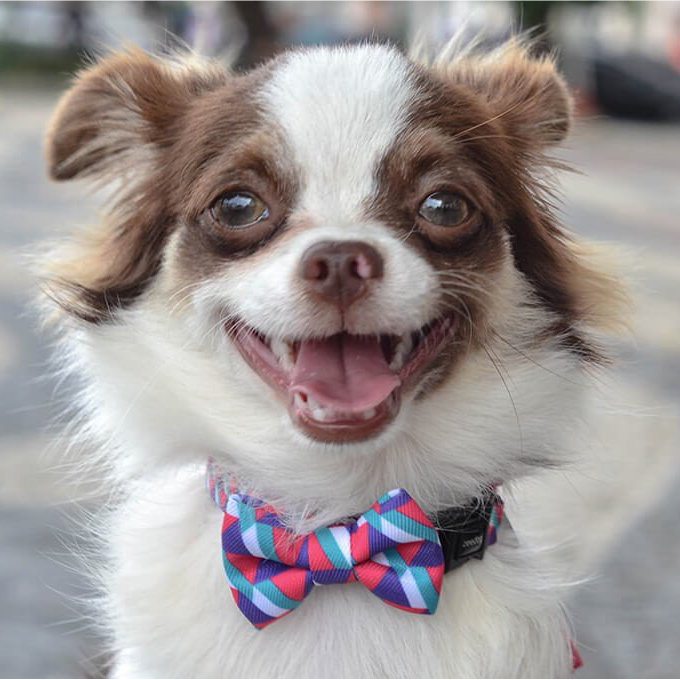Chihuahua Wearing Zee.Dog Adria Bow Tie