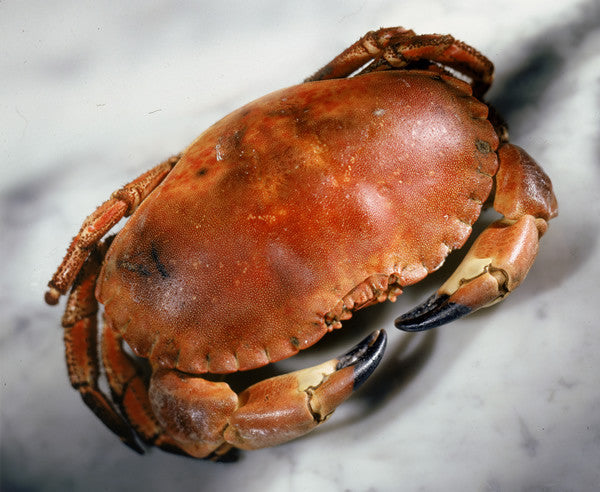Brown Crab (Cancer pagurus)