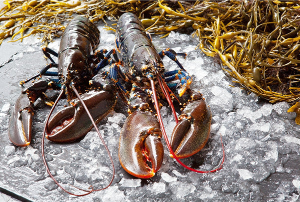 Blue Lobster (Homarus gammarus)