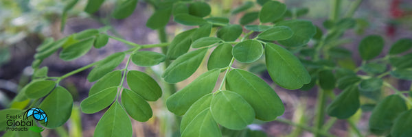 MORINGA and Diabetic Health