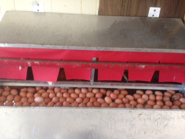 127 Eggs in just one nest box
