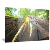 sequoia tree photography canvas art print PT6863