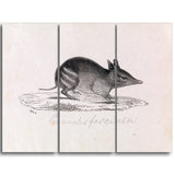MasterPiece Painting - Gerard Krefft Western barred Bandicoot