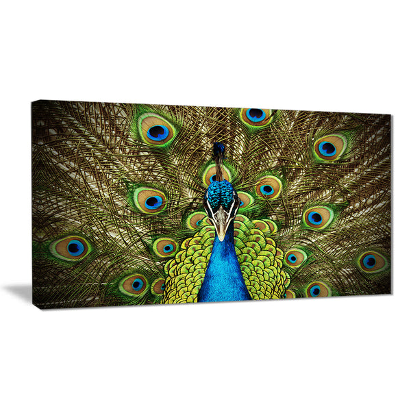 grand peacock animal photography canvas art print PT6535