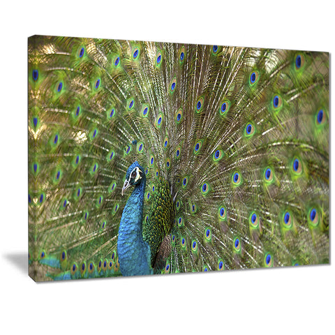 beautiful peacock with feathers animal canvas print PT7104