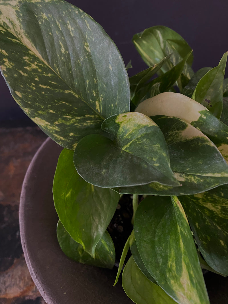 Pothos Golden Medium