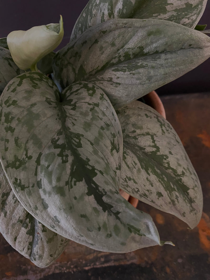 Philodendron Silver Large Leaf