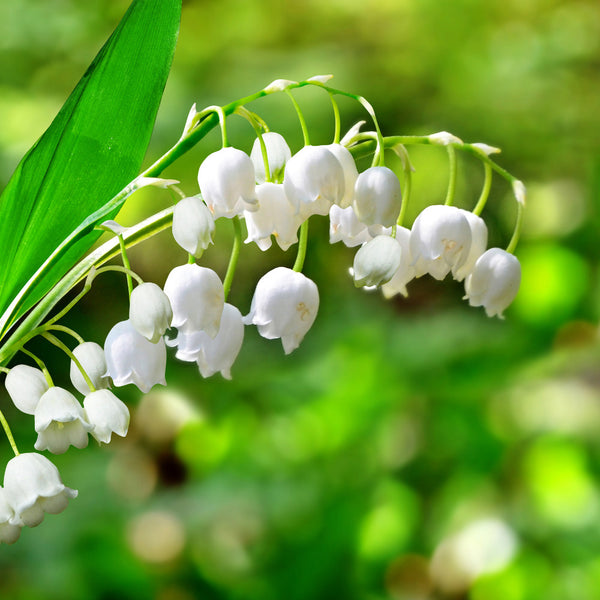 16oz Scented Jar Candle: Lily of the Valley - LIMITED Seasonal!