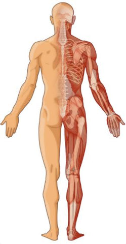 building muscle and bone density