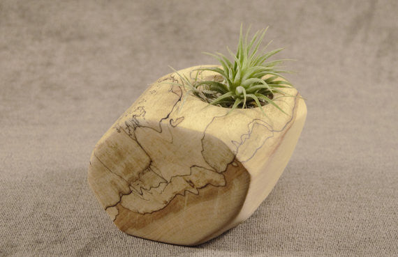 "3"" Spalted Maple Wood Air Plant Holder"