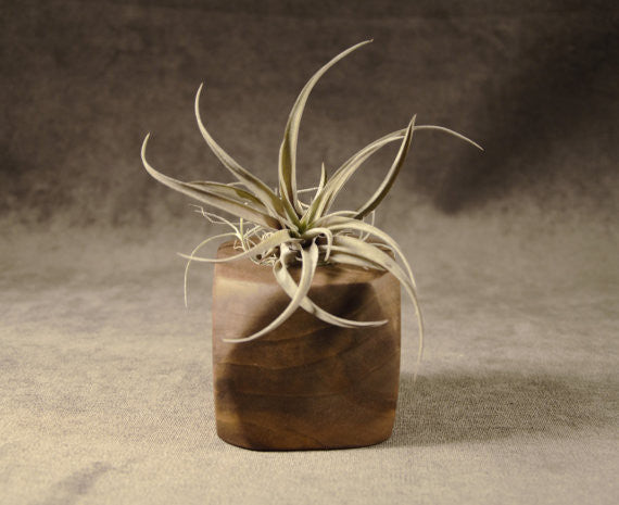 "3"" Walnut Wood Air Plant Holder"