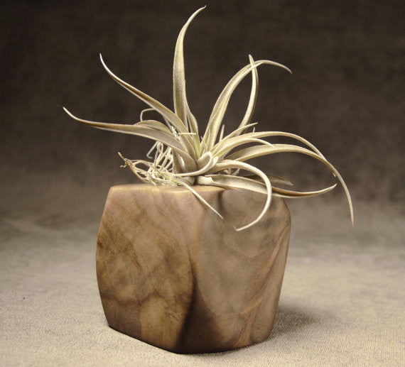 "5"" Walnut Wood Air Plant Holder"