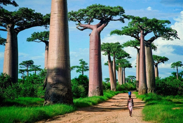 The Nine Species of the Baobab Tree