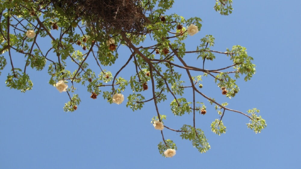 Flowers of the Baobab Tree