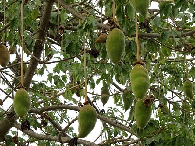 baobab fruit on tree