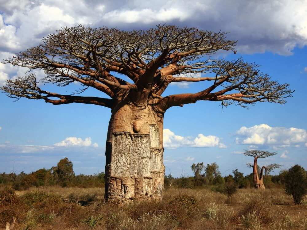 upside-down baobab tree