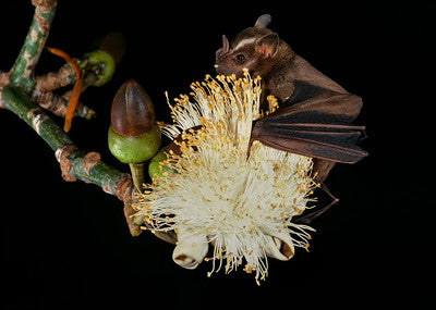 Pollination of the Australian Baobab Flowers