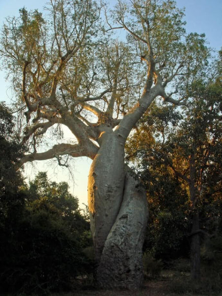 intertwined baobab tree